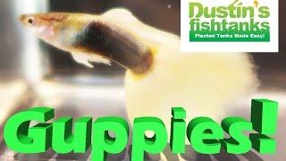 Fancy Guppies Contest, INSANE Aquarium Guppies