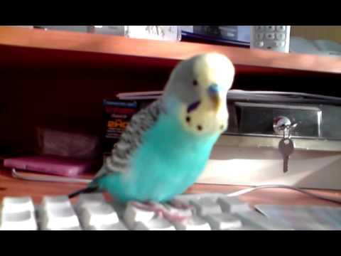 gadajaca papuga