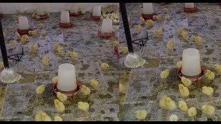 Simple Space Tips  in Poultry Farm!पोल्ट्री फार्म मैं स्टार्ट से लास्ट तक जगह कितनी देनी है !