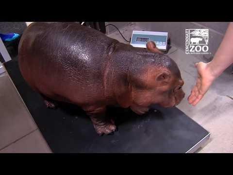 Xxx Mp4 Baby Hippo Fiona S 2 Year Highlights Cincinnati Zoo 3gp Sex