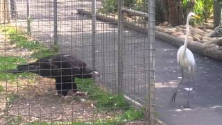 Eagle attacks bird at Featherdale  Wildlife Park,