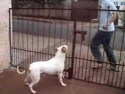 pit bull amor ao dono