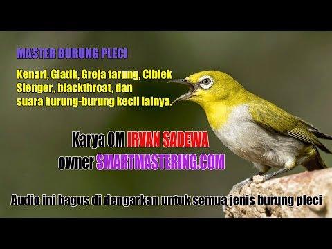 Master Burung Pleci Isian Kenari, Gereja Tarung, Ciblek, blackthroat, dan burung kecil lainya