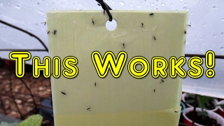Easy DIY Sticky Traps   Eliminate Fungus Gnats, Aphids, White Flies, Leaf Miners, etc.