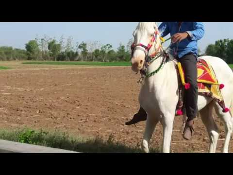 Horse jalwa dance gujrati hourse dance