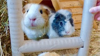 DIY Toys for Guinea Pigs