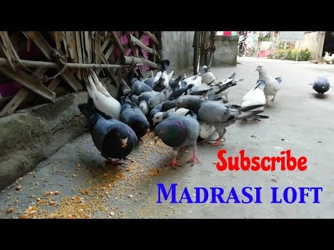 Xxx Mp4 Village Pigeon Lover Madrasi Kabootar Loft Dana Time In West Bengal By Raza Photography Technica 3gp Sex