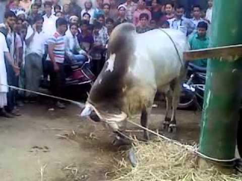 angry bull qurbani 1