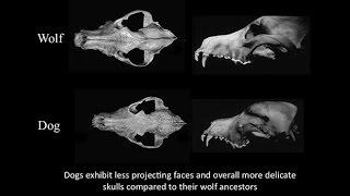 CARTA: Domestication: Transformation of Wolf to Dog; Fox Domestication; Craniofacial Feminization