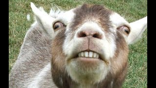 Top 10 Funny Goat Videos - Funniest Goats [BEST OF]
