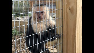 Animal Adventures with Jordan: Black and White Capuchins