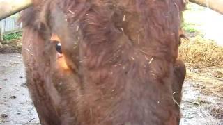 Lloyd the Bull gets into the MOOOvies