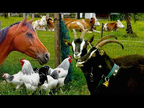 Xxx Mp4 Top25 Most Beautiful Farm Animals Rare Breeds Of Lifestock Cattle Goats Chickens Horse Poultry 3gp Sex