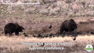 Nature Documentary Clash Encounters of Bears and Wolves english subtitles