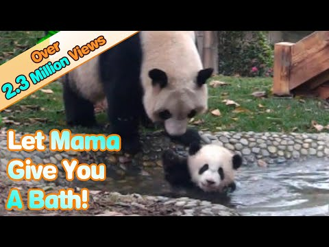 Panda mom forces her babe to take a bath