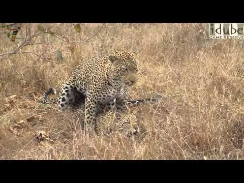 Xxx Mp4 Sex In The Wild Mating Leopards Hard And Rough HD 3gp Sex