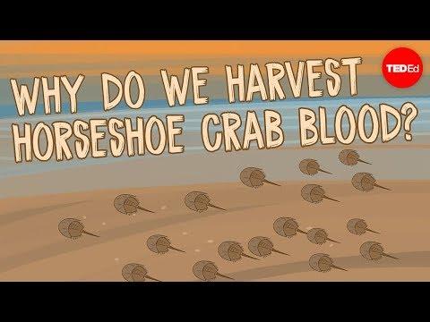 Why do we harvest horseshoe crab blood Elizabeth Cox