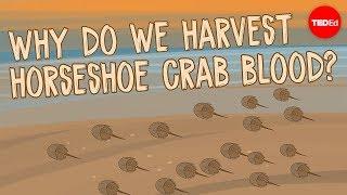Why do we harvest horseshoe crab blood? - Elizabeth Cox