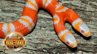 BIZARRE TWO HEADED SNAKE - real or fake?