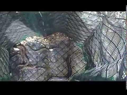 ловля угря на нитку с червями