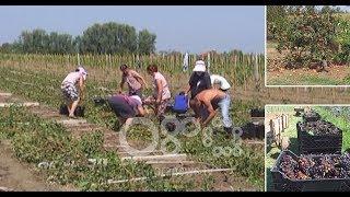 Ora News - Breshëri shkatërron vreshtat në Lushnje: Mundi i një viti na iku në 20 minuta