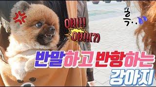 반항하고 반말하는... 강아지 feat.귀여운 곰돌이컷 포메라니안 funny puppy