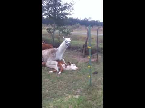 Xxx Mp4 Llama Humping A Cow 3gp Sex