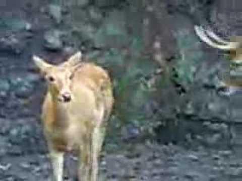 Deer Sex