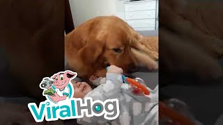 Too Big to Be a Lap Dog || ViralHog