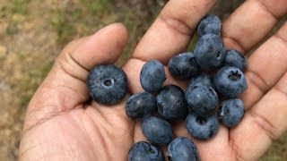 অবিশ্বাস্য !! দোকানদার ছাড়া দোকান !! শেষ পর্যন্ত না দেখলে মিস।  Blueberry picking. NJ. USA