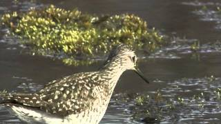 Separating Wood And Green Sandpipers