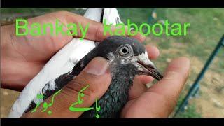 بانکے کبوتر ڈاکٹر نعمان || Bankay kabootar