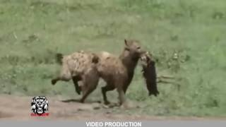 15 CRAZIEST Animal attacks Caught On Camera #4   Most Amazing Wild Animal Attacks