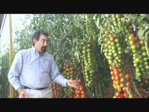 Agroscience Tomate Cherry