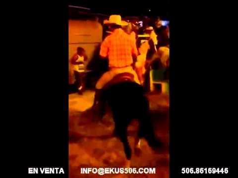Caballo Bailador Costarricense de Paso Halcón