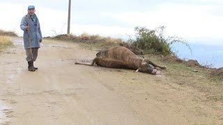 Волци нападнаа и задавија стадо крави во Пресека