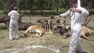 Умъртвяване на болни крави