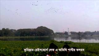 কুমিল্লার রেইসকোর্স লেক এ অতিথী পাখির কলরব