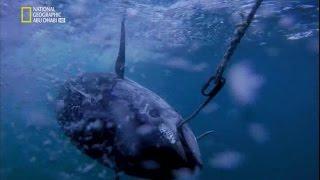 سمكة التونة العنيدة الحلقة 1 موسم 2017