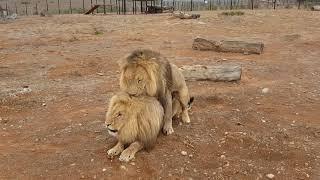 Lion Gay