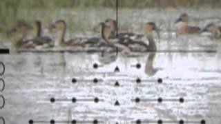 Green pigeon hunting - photo#12