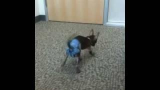 Chupi Wears A Diaper