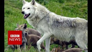 Does France have a wolf problem? - BBC News