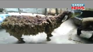 Sheep Butcher Scaring Niali Villagers