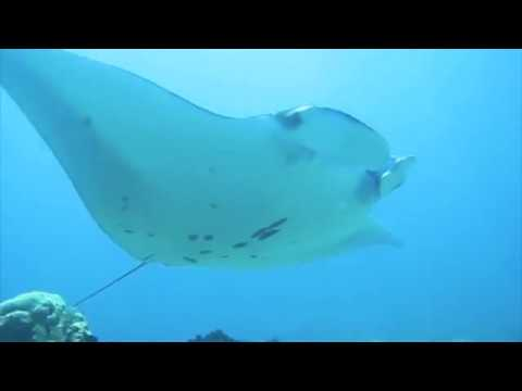 Diving In Paradise Manta Ray Kumodo Private Luxury Yacht Charter Omn