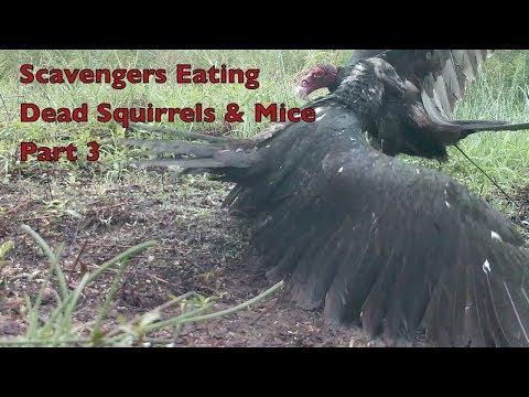 Wildlife Footage - Scavengers Eating Squirrels & Mice Part 3.