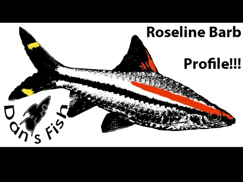 Xxx Mp4 Roseline Barb Profile Sahyadria Denissonii 3gp Sex