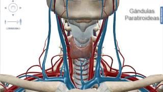 Anatomia de las Glandulas Tiroides y Paratiroides. Por Gisella Regalado