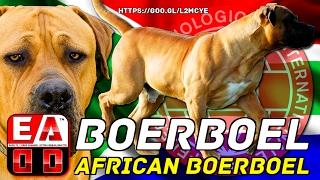 EL PERRO BOERBOEL SUD - AFRICANO - Historia, caracteristicas, cuidados y salud. EADD CHANNEL