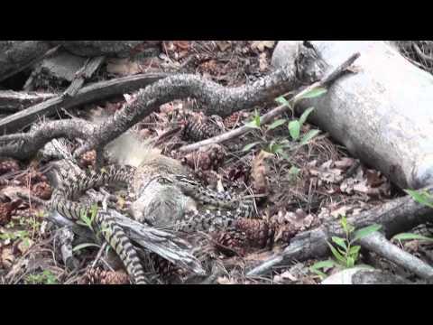 Squirrel vs. Big Snake Battle